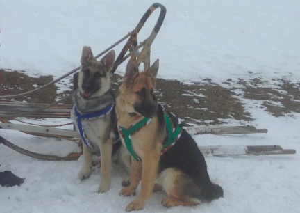 Titus & Tekoa Sled Harness 2014-01-03