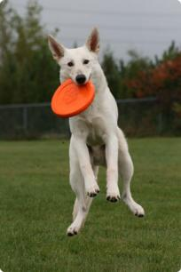 White GSD Disc Dog