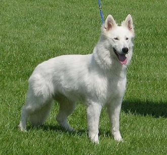 White Shepherd Female