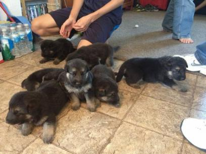 German Shepherd Dog Puppies Box Elder